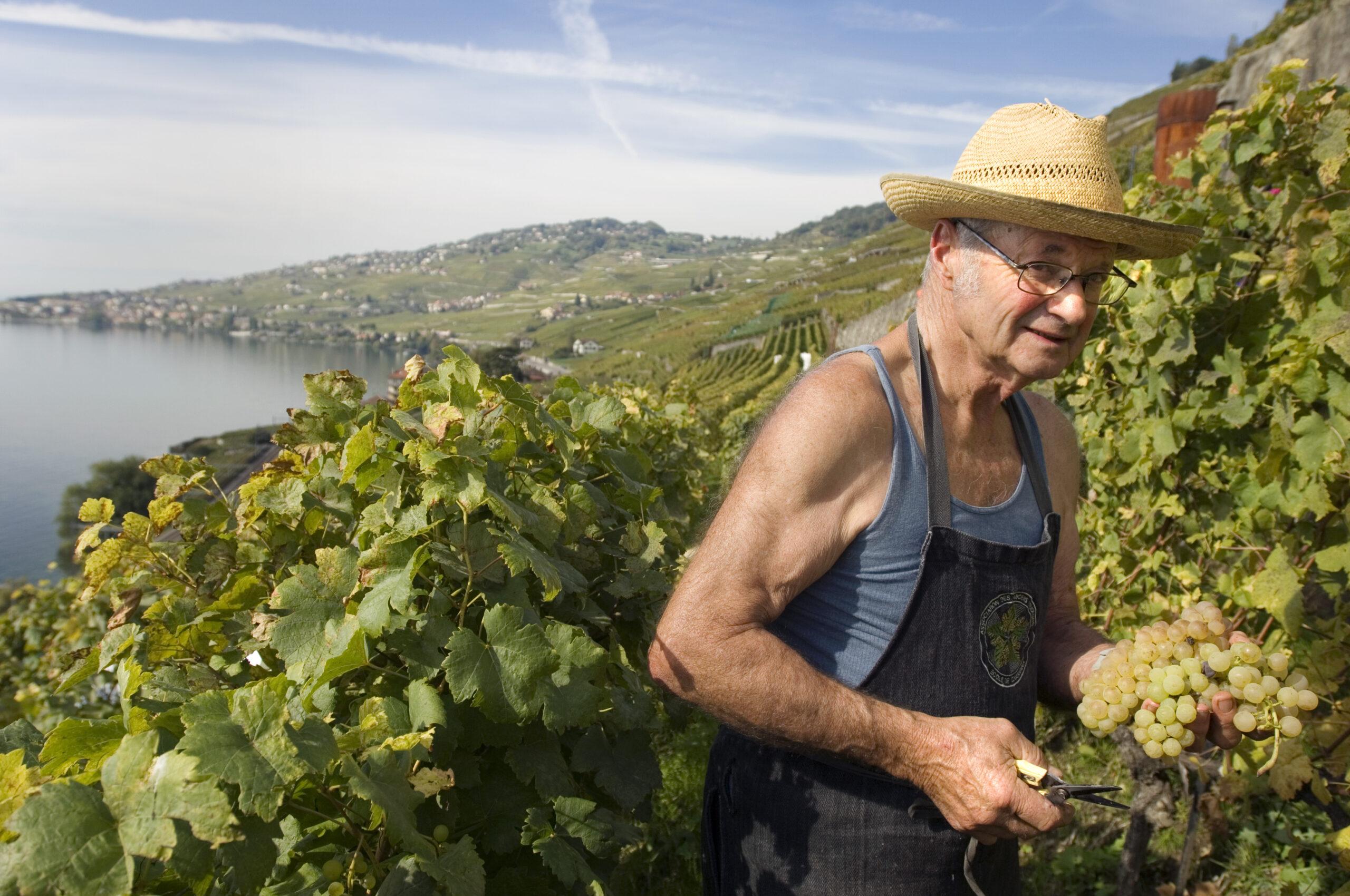 Colhendo uvas