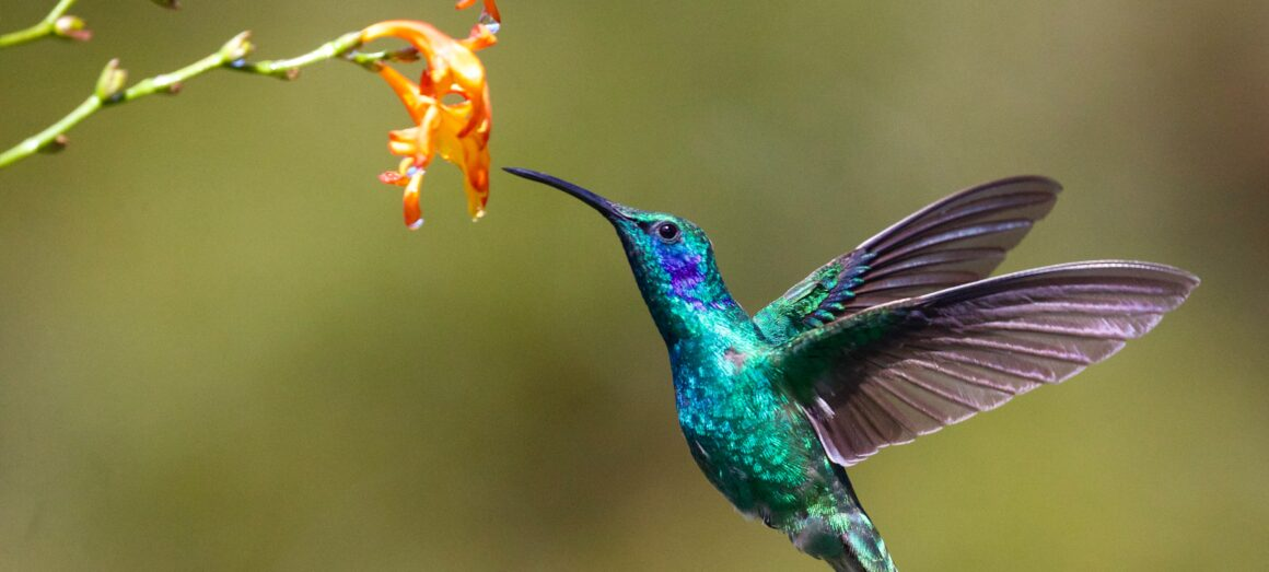 prematuro beija-flor