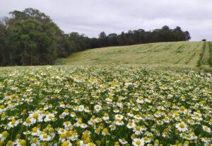 caminhada campos de camomila