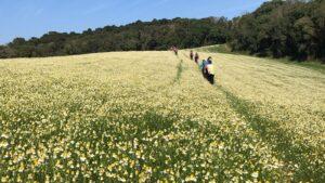 campos de camomila